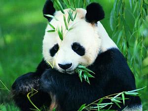 大熊猫排泄物中的微生物可能成为解决能源危机的新方法