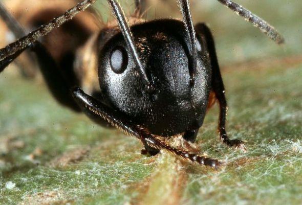 泰国木蚁感染真菌行为大变似游走僵尸